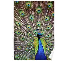 Pretty as a Peacock Poster