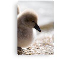 Black Swan Chick Canvas Print