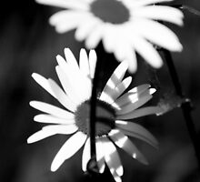 black and white daisy by Dawn Barger