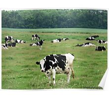 Field of Cows Poster
