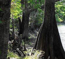 Old Crypress trees dotting Floridian rivers by Sharksladie