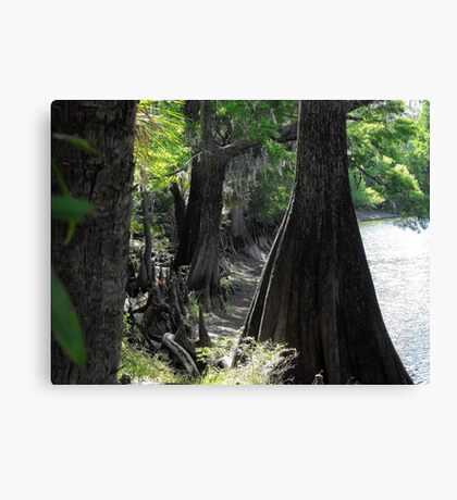Old Crypress trees dotting Floridian rivers Canvas Print
