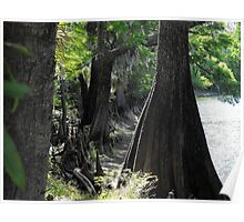 Old Crypress trees dotting Floridian rivers Poster