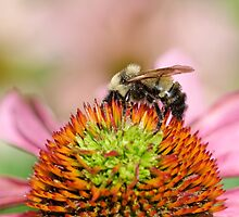 Bumblebee Dreams by Tim Devine
