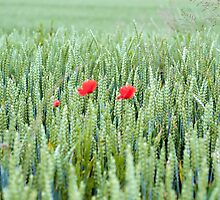 Wheat flower & Red Poppies by ad8465