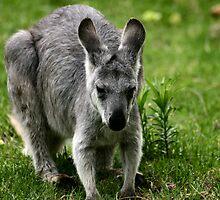 Baby Wallaby, Kangaroo by celticfae01