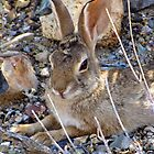 Desert Cottontail by Kimberly P-Chadwick