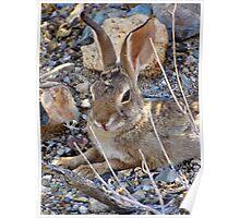 Desert Cottontail Poster
