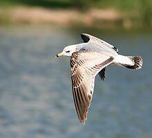 Ring-billed Gull in Flight by Teresa Zieba