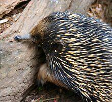 Echidna taken at Birdland Batemans Bay NSW Australia by celticfae01