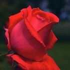 Red Rose at Twilight #4 by Allan  Erickson