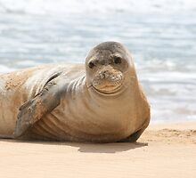 An endangered Monk Seal  by eveadair