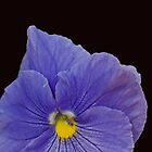 Viola in Shades of Blue or Purple  by Corri Gryting Gutzman