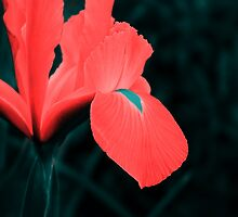 Iris in pseudo-infrared by Tony Phillips