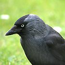 The Jackdaw by Declan Carr