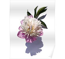 Peony on White Poster