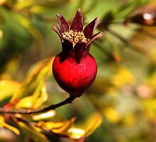 rose hip red by Deb Gibbons