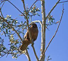 Angry Falcon by Matt  Harvey