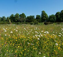 Wildfower Meadow by Gill Langridge