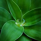 Agave tears by Miriam Shilling