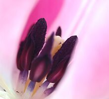 Inside Pink Tulip by PinkK