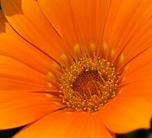 Orange Delight by SusanAdey