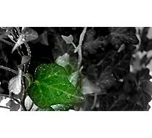 Hanging Ivy -Selective Coloring ^ Photographic Print
