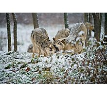 Timber Wolves Photographic Print