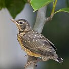 A Young Robin by Regenia Brabham