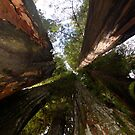 Redwoods by Eliot  Reed