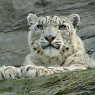 snow leopard by purpleminx