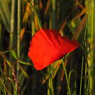 Poppy Red by Pamela Jayne Smith