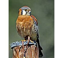 American Kestrel Smallest of the Falcons  Photographic Print