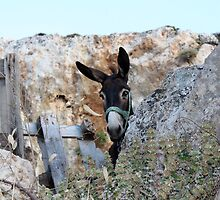 Greek Donkey by Mike Paget