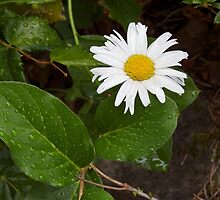 Daisy and Foliage in Rain by Penny Ward Marcus