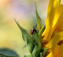 Spider on sunflower (Malta) by Ellen van Deelen