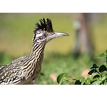 Roadrunner early morning hunt Photographic Print