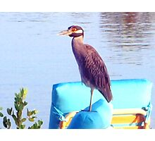 Night heron perched on a chair Photographic Print