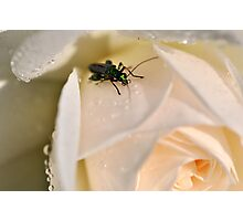 The bug 'n' rose Photographic Print