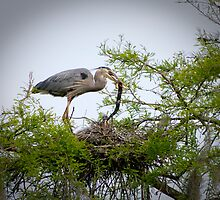 Great Blue Heron Feeding Snake to her Young by Photography by TJ Baccari
