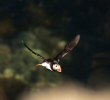 puffin in flight by Jon Lees