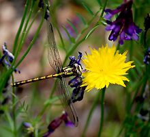 Dragonfly by Barbara Anderson