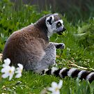 Lunching Lemur by HelenBeresford