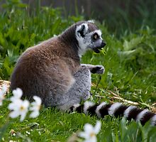 Lunching Lemur by HelenBeresford