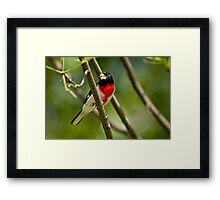 Rose Breasted Grosbeak - Gatineau, Quebec Framed Print