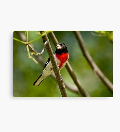 Rose Breasted Grosbeak - Gatineau, Quebec Canvas Print