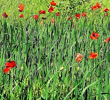 Poppies by enchantednature