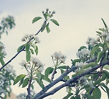 Pear blossoms by Marie Carr