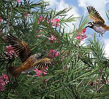 The Honey-eaters by Ken Gilliland