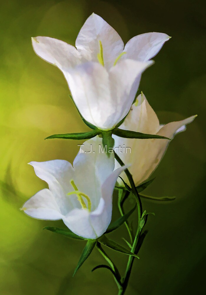 Peach-Leaved Bellflower by T.J. Martin